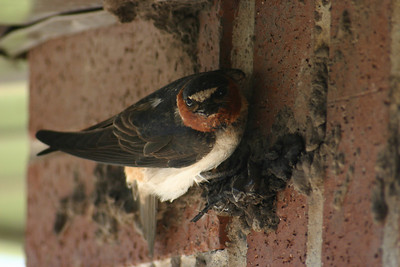 Cliff swallow building a nest on the side of a building.  Photo by Scott Root, Utah Division of Wildlife Resources.