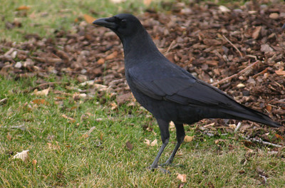 American crow standing on the ground.  Photo by Scott Root, Utah Division of Wildlife Resources
