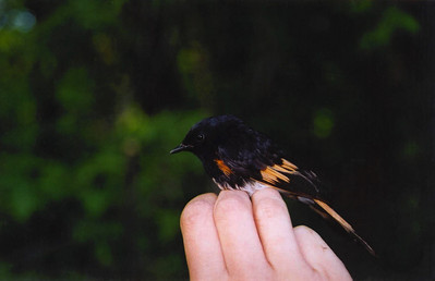 Hand-held American Redstart.  Photo by Scott Root, Utah Division of Wildlife Resources