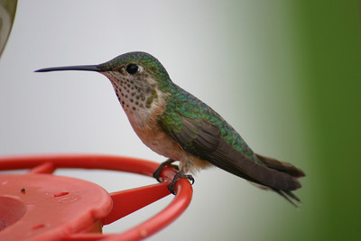 Broad-tailed hummingbird perched on a bird feeder.  Photo by Scott Root, Utah Division of Wildlife Resources.