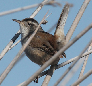 Marsh wren. Photo by Phil Douglass, Utah Division of Wildlife Resources