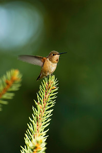 A young rufous hummingbird. Photo by Ron Stewart, Utah Division of Wildlife Resources.