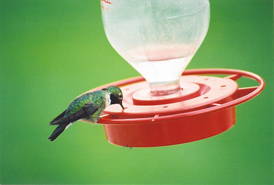 Hummingbird at a feeding station.  Photo by Scott Root, Utah Division of Wildlife Resources