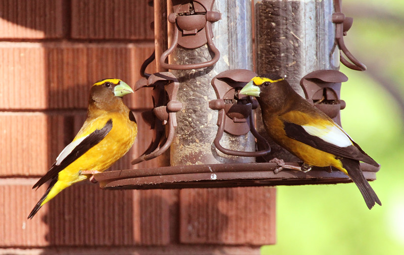 Evening grosbeaks on feeder