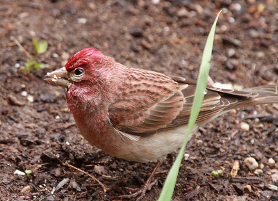 Cassin's finch in central Utah. Photo by Scott Root, May 2013.