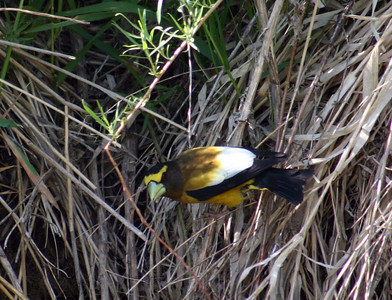 Evening grosbeak in the grass.  Photo by Scott Root, Utah Division of Wildlife Resources.
