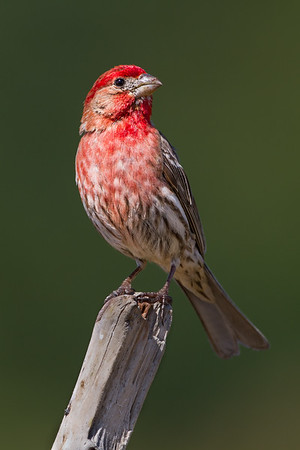 Finches and Allies (Fringillidae)