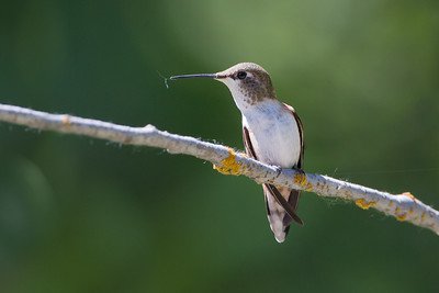 Caliope Hummingbird