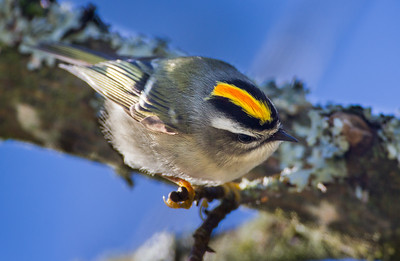 Kinglets (Regulidae)
