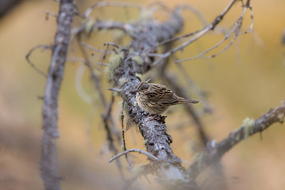 New World Sparrows (Passerellidae)