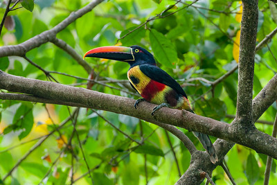 Toucans and Aracari (Ramphastidae)