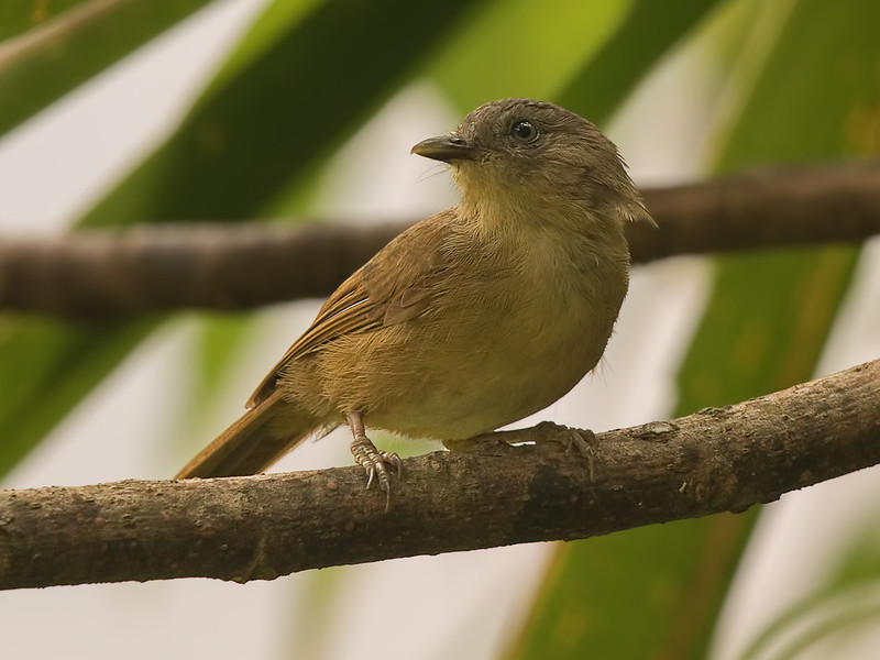 Brown-cheeked Fulvetta - India 2016