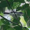 Scaly-crowned Babbler - Sumatra 2016