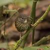 Sumatran Wren-Babbler - Sumatra 2016
