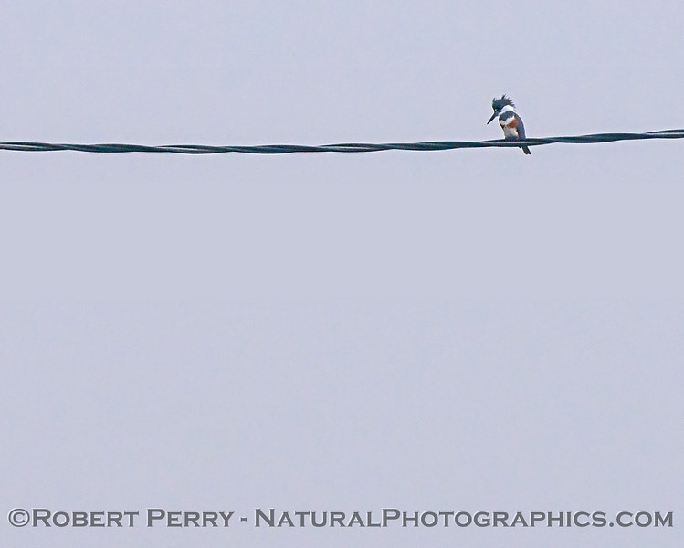Megaceryle alcyon Belted Kingfisher 2017 12-15 Woodbridge-b-002