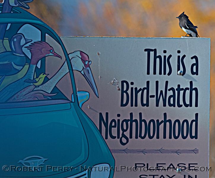 Sayornis nigricans Black phoebe on bird sign 2020 12-01 Sac NWR--006