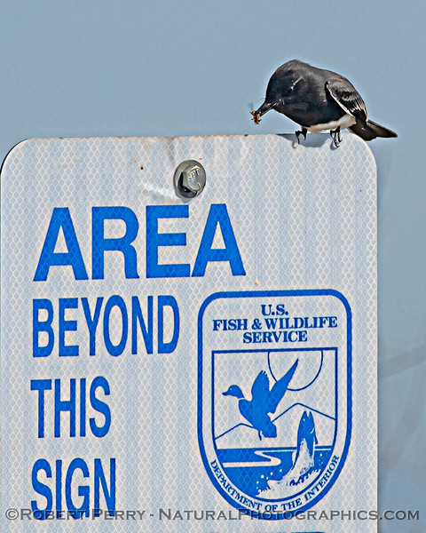 Sayornis nigricans on sign eating insect 2020 10-13 Sac NWR-010