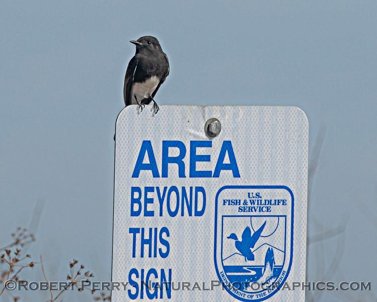 Sayornis nigricans on sign 2020 10-13 Sac NWR-008
