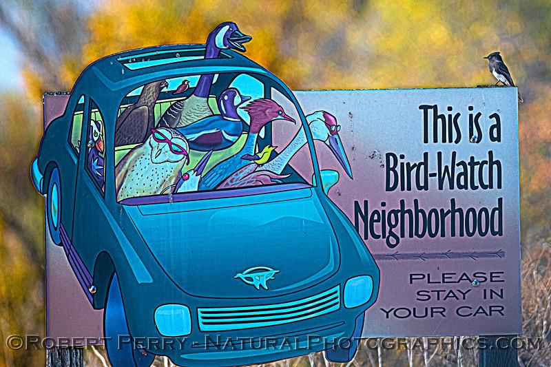 Sayornis nigricans on birding sign 2020 11-04 Sac NWR-003