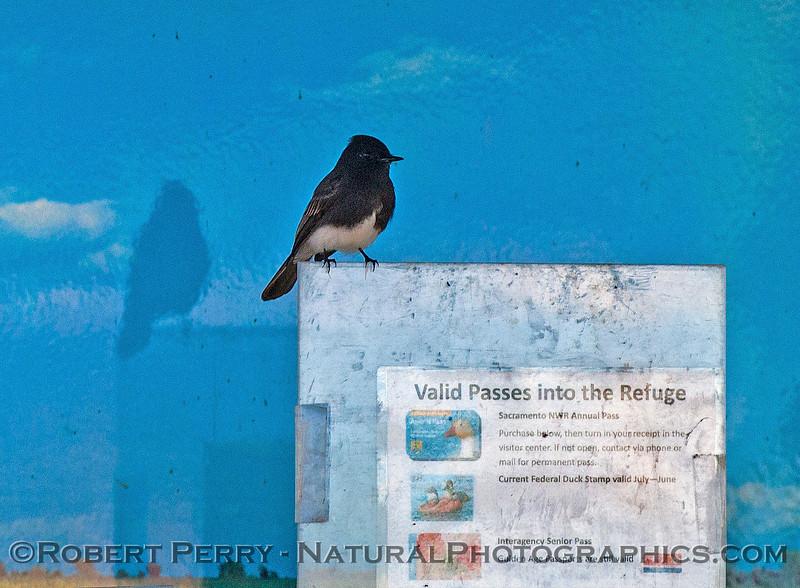 Sayornis nigricans black phoebe 2016 12-06 Sacramento NWR-014