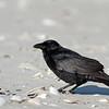 Fish Crow eating crab legs