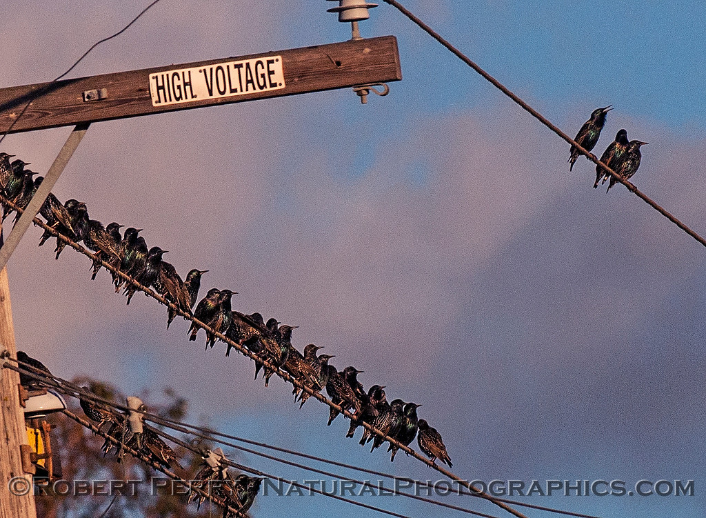 Sturnus vulgaris starlings huge flock in flight 2016 12-16 Cosumnes River Preserve-016