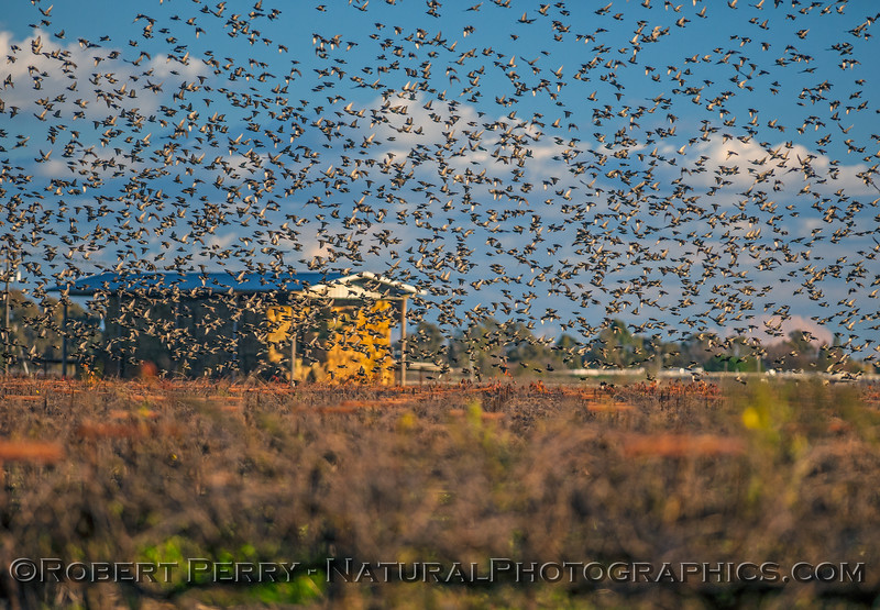 Sturnus vulgaris starlings huge flock in flight 2016 12-16 Cosumnes River Preserve-031