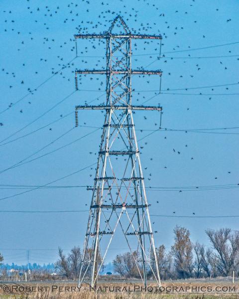 Sturnus vulgaris European Starling masses on high voltage transmission tower 2017 12-15 Stone Lakes-017