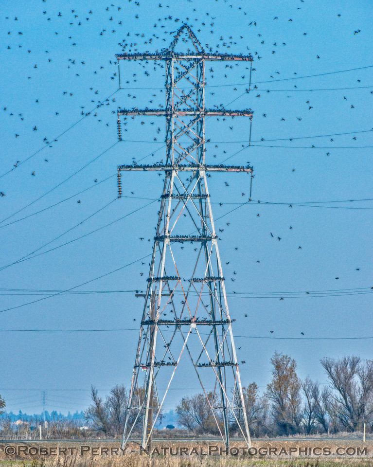 Sturnus vulgaris European Starling masses on high voltage transmission tower 2017 12-15 Stone Lakes-017