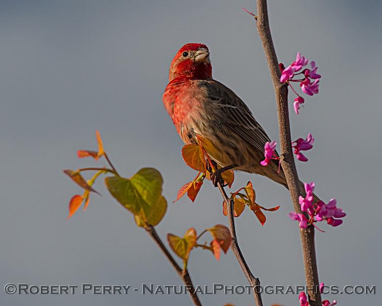 House Finch male - backyard bird.