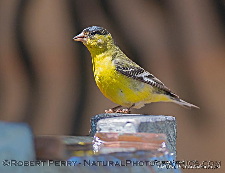 Spinus psaltria lesser goldfinch 2021 05-27 BACKYARD--003