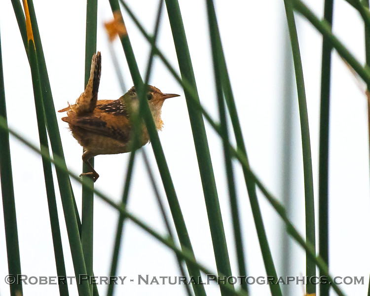 Cistothorus palustris marsh wren in tule reeds 2020 05-02 Sac NWR--004
