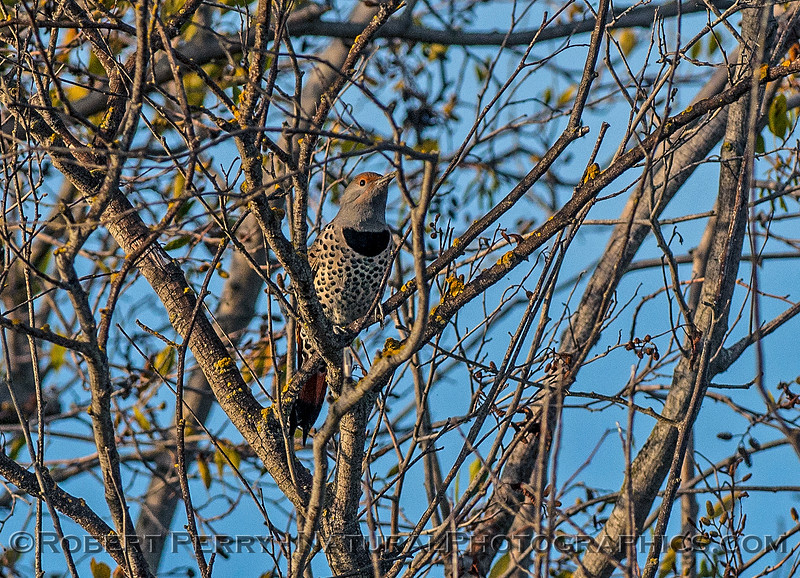 Colaptes auratus northern red-shafted flicker 2016 11-05 Delta GÇô Lodi--017