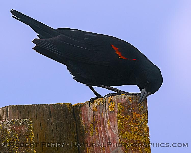 Agelaius phoeniceus Red-winged blackbird 2020 03-29 Grizzly Island Wildlife Area-011