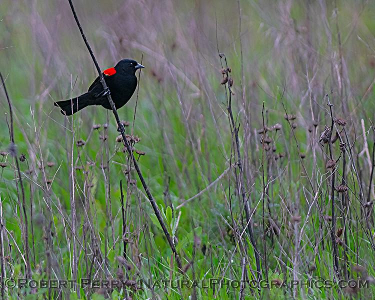 Agelaius phoeniceus Red-winged blackbird 2020 03-18 Yolo ByPass--030