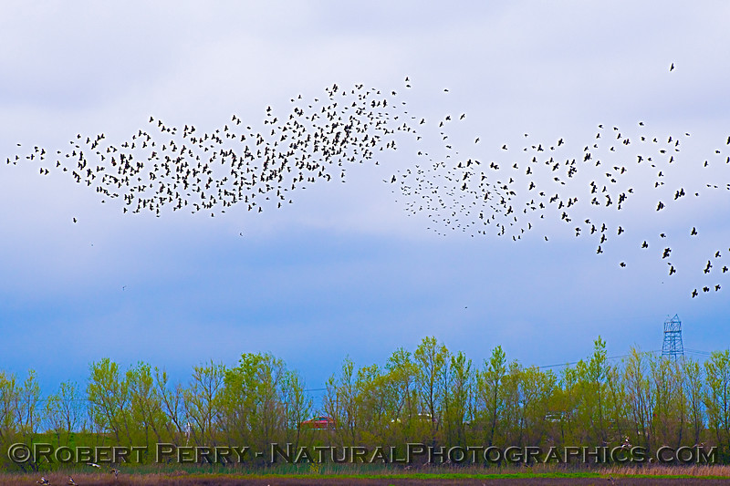 blackbird flock in flight mixed species 2020 03-18 Yolo ByPass--417
