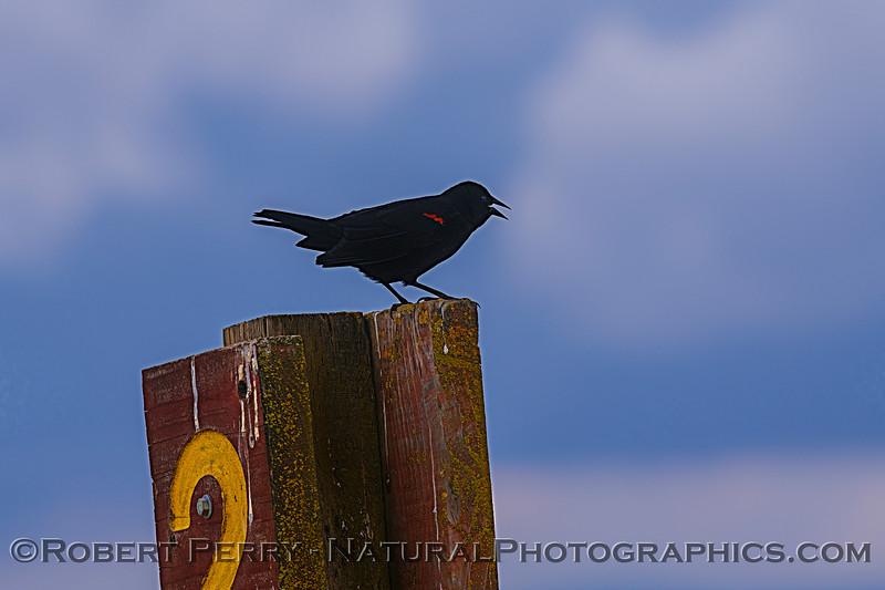 Agelaius phoeniceus Red-winged blackbird 2020 03-29 Grizzly Island Wildlife Area-001