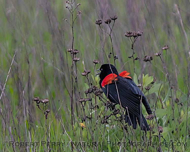 Agelaius phoeniceus Red-winged blackbird 2020 03-18 Yolo ByPass--165