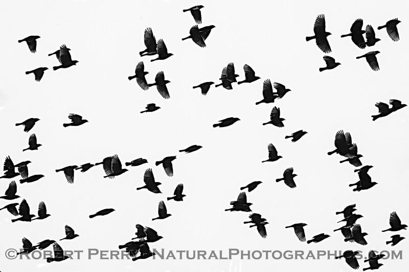 Agelaius phoeniceus flock murmurations 2020 09-16 Yolo ByPass-017