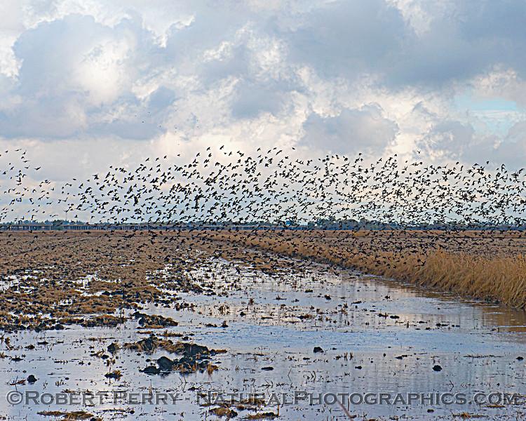 Agelaius phoeniceus Red-winged blackbird murmurations 2020 11-18 Yolo ByPass-b-010