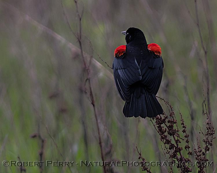 Agelaius phoeniceus Red-winged blackbird 2020 03-18 Yolo ByPass--101