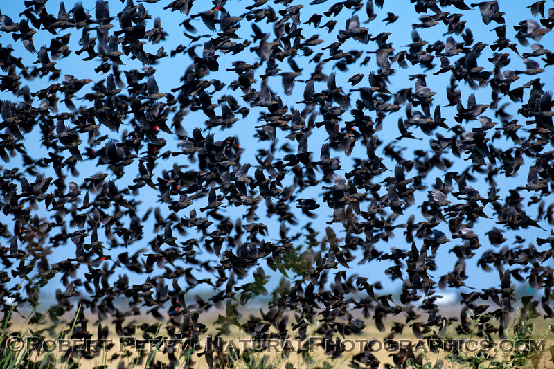 Agelaius phoeniceus massive flock CLOSE 2018 10-11 Yolo By Pass--024
