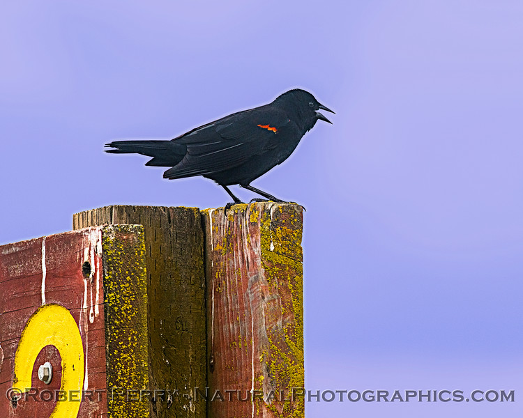 Agelaius phoeniceus Red-winged blackbird 2020 03-29 Grizzly Island Wildlife Area-002