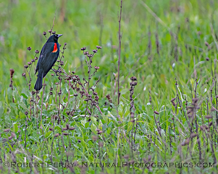 Agelaius phoeniceus Red-winged blackbird 2020 03-18 Yolo ByPass--020