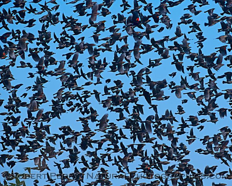 Agelaius phoeniceus massive flock CLOSE 2018 10-11 Yolo By Pass--027