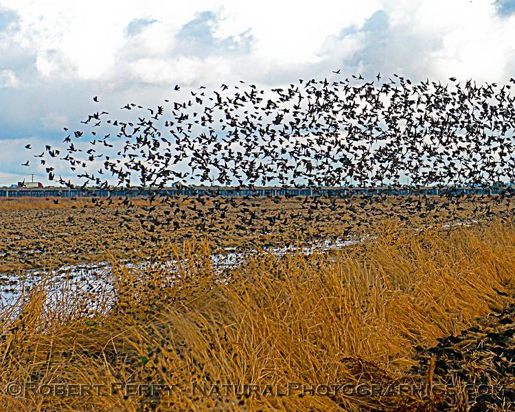 Agelaius phoeniceus Red-winged blackbird murmurations 2020 11-18 Yolo ByPass-b-065