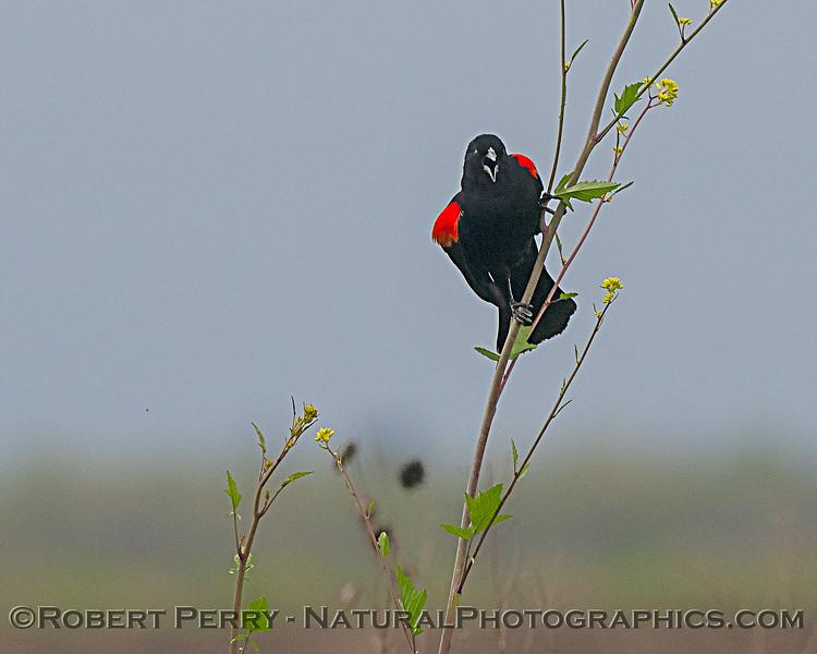 Agelaius phoeniceus Red-winged blackbird 2020 04-06 Yolo ByPass-006