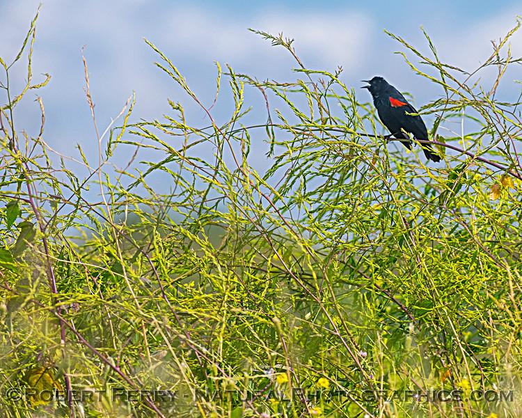 Agelaius phoeniceus Red-winged blackbird 2019 05-20 Sac NWR--002