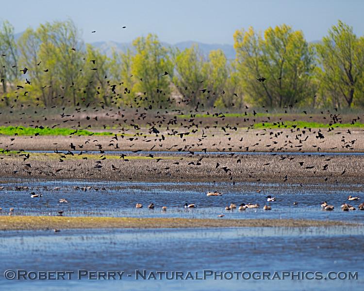 blackbirds mixed flock in flight 2020 04-02 Yolo ByPass-001