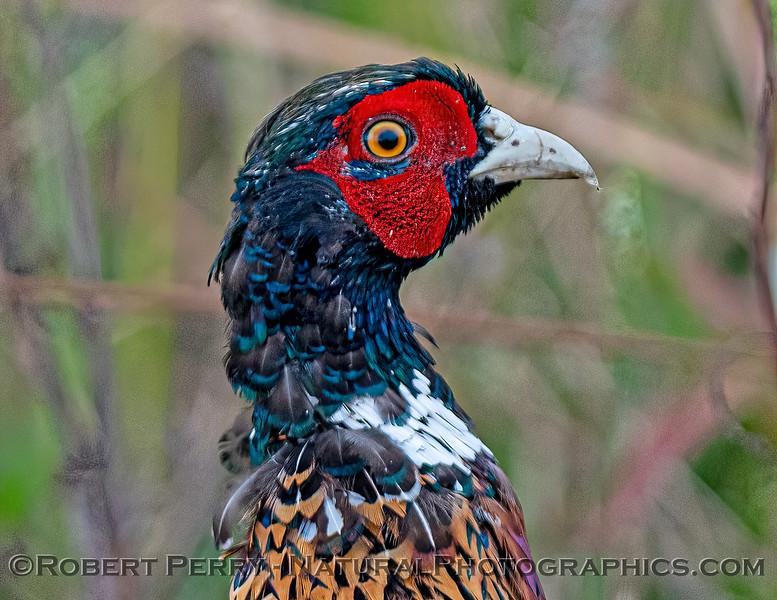 Phasianus colchicus ring necked pheasant 2021 10-06 Sac NWR-b-012